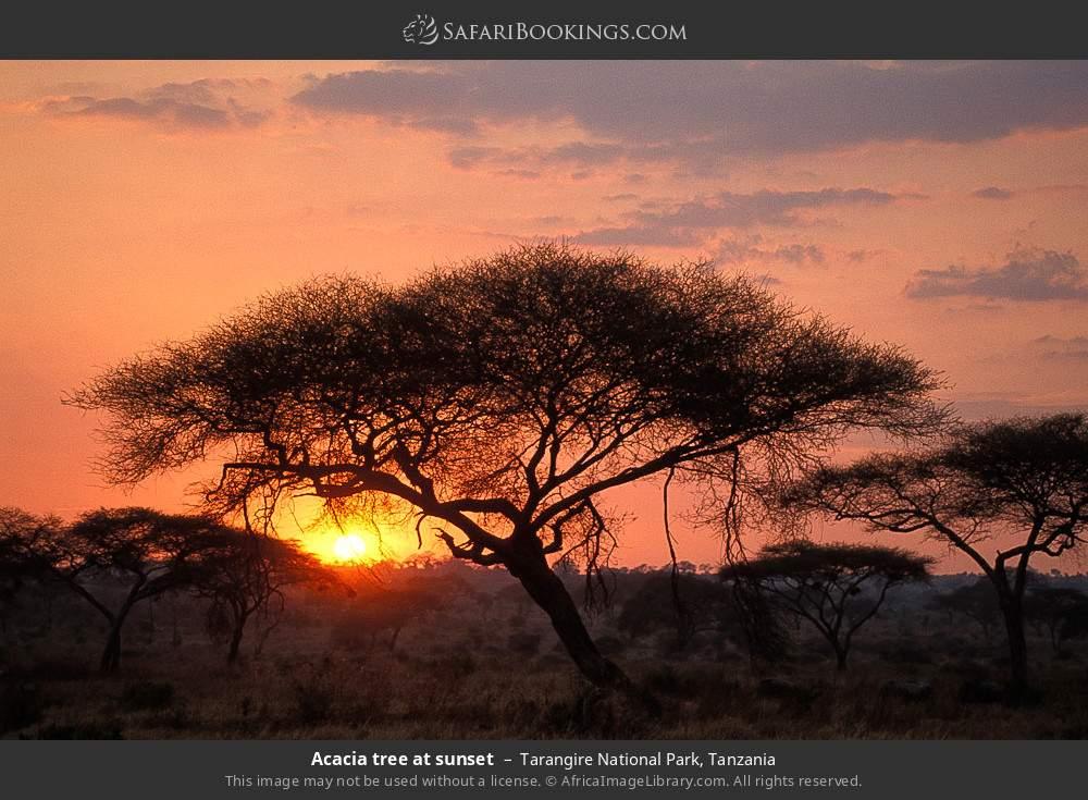 Acacia tree at sunset in Tarangire National Park, Tanzania