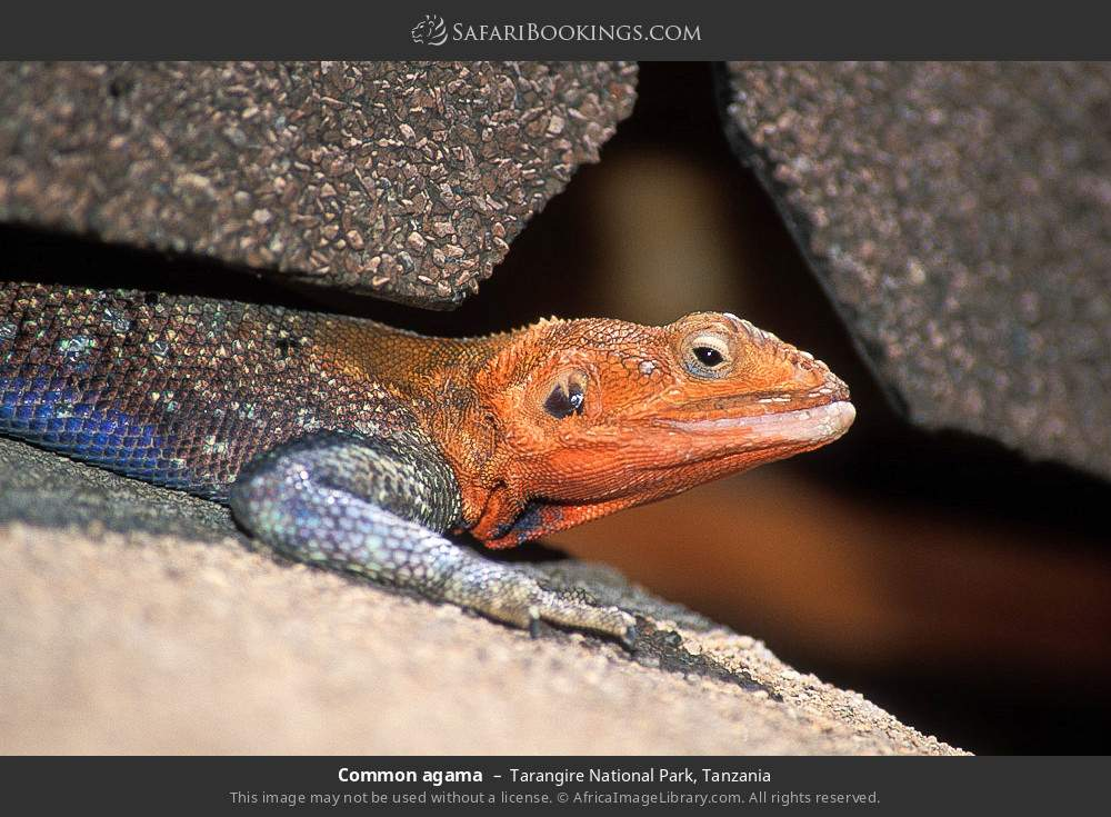 Common agama in Tarangire National Park, Tanzania