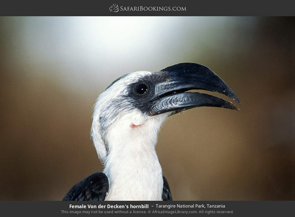 Female Von de Decken's hornbill in Tarangire National Park, Tanzania