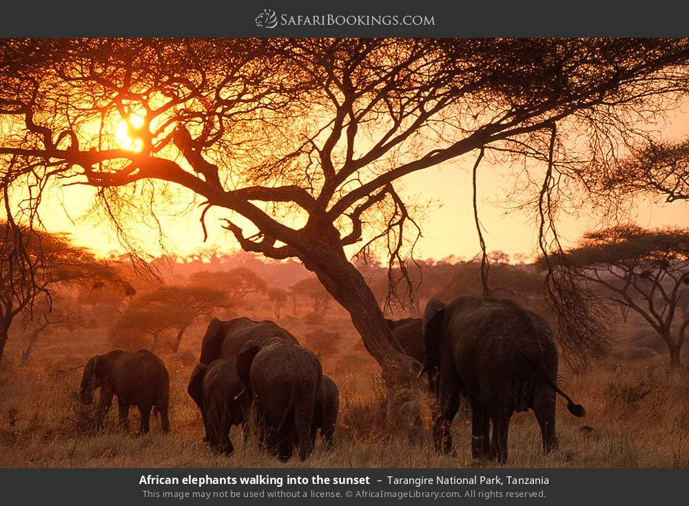 African elephants walking into the sunset in Tarangire National Park, Tanzania