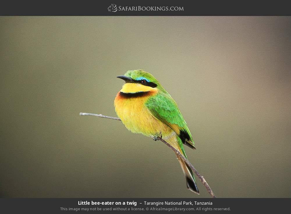 Little bee-eater on a twig in Tarangire National Park, Tanzania