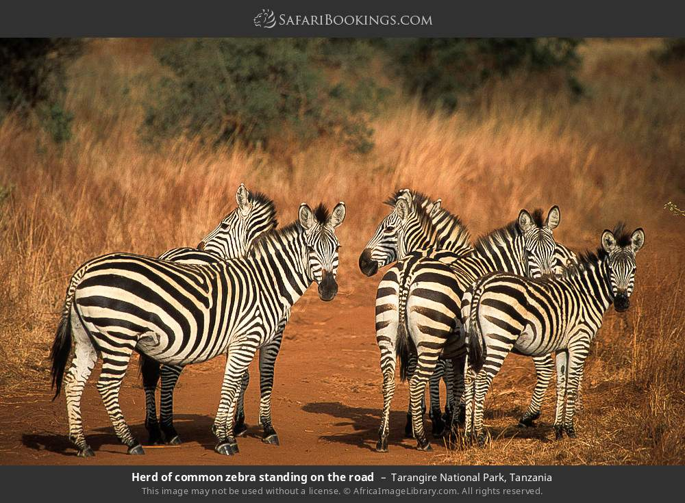 Herd of common zebra standing on the road in Tarangire National Park, Tanzania