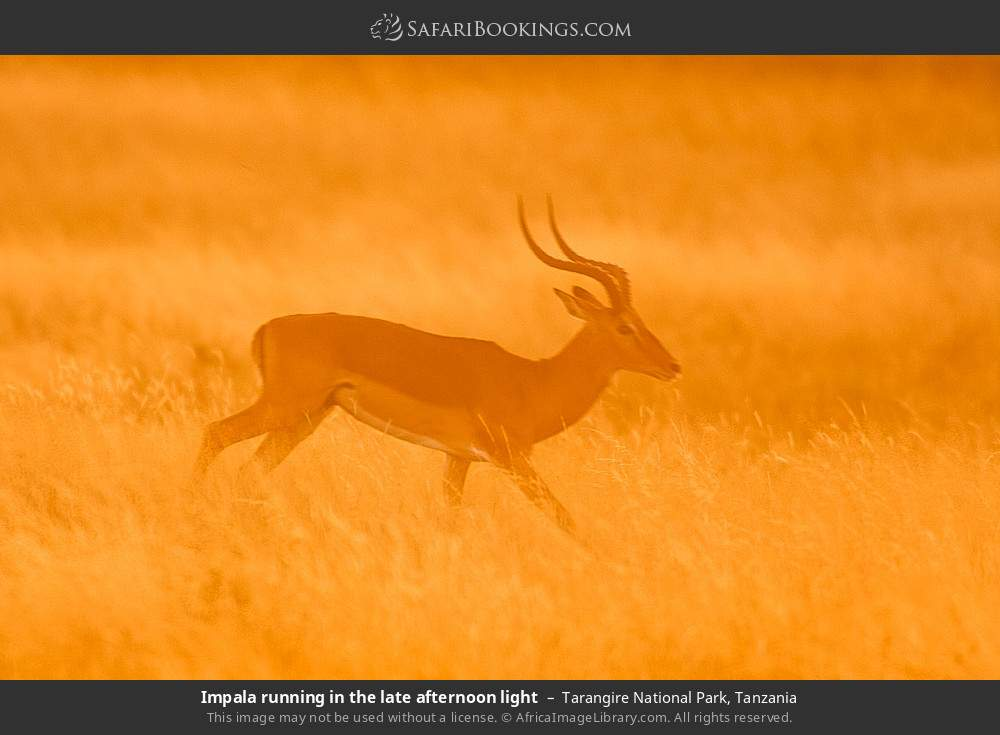 Impala running in the late afternoon light in Tarangire National Park, Tanzania