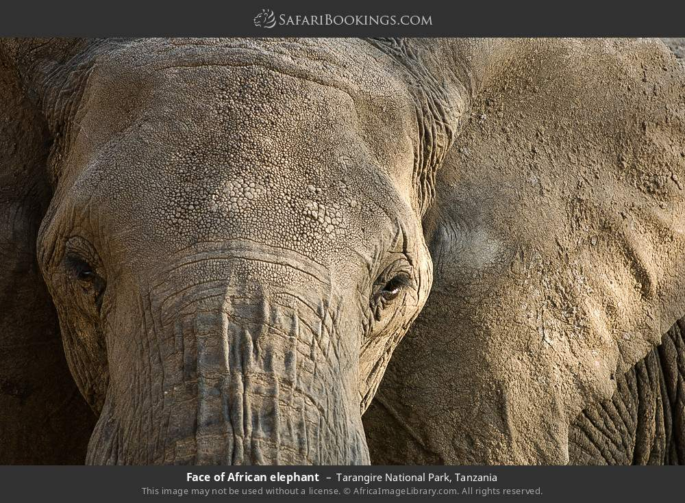 Face of African elephant in Tarangire National Park, Tanzania