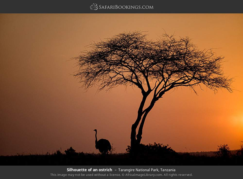 Silhouette of an ostrich in Tarangire National Park, Tanzania