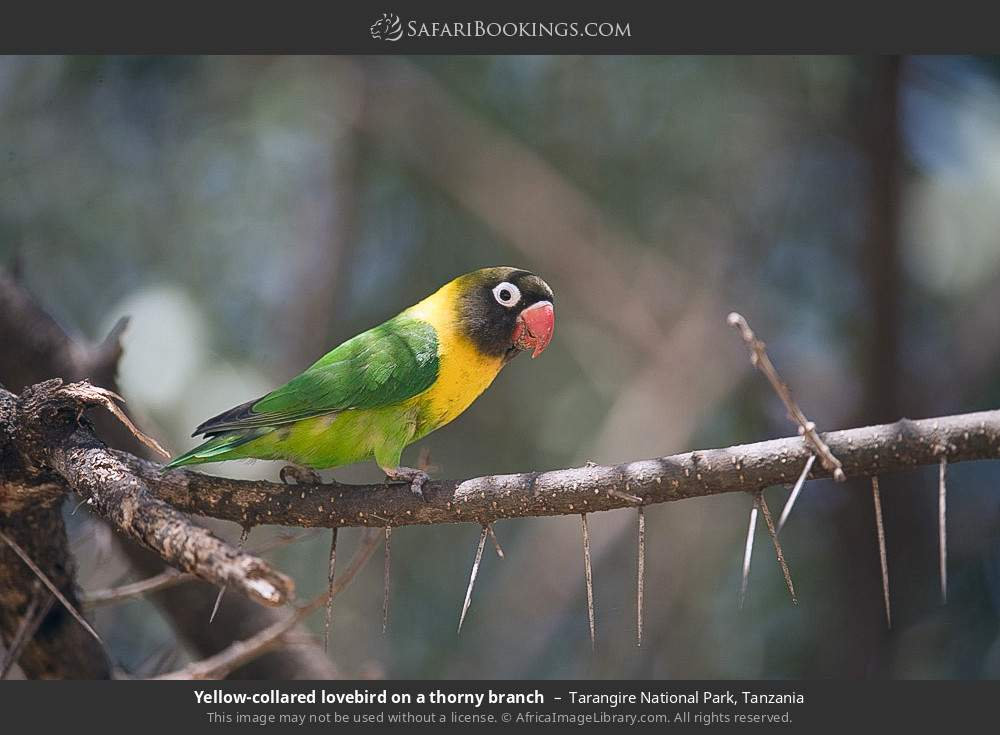 Yellow collared lovebird on a thorny branch in Tarangire National Park, Tanzania
