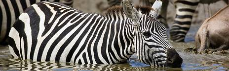 bush and forest zebra