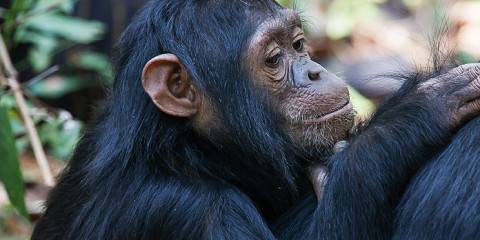 4-Day Chimpanzee Extraodinary Experience Safari