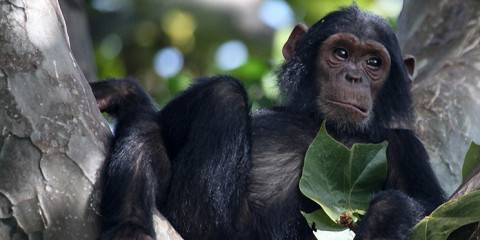 3-Day Chimpanzee Trekking in Gombe Stream National Park