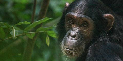 4-Day Gombe Chimps Trekking