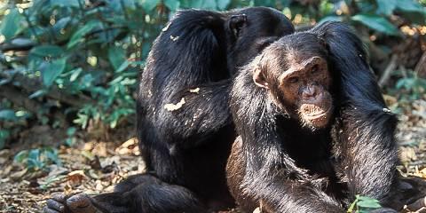 14-Day Chimps Tracking, Southern &Western Tanzania Safari
