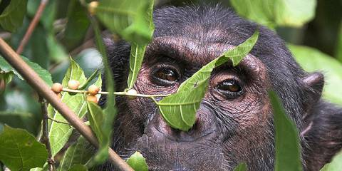 4-Day Gombe Jane Goodall Chimpanzee Trekking