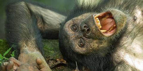 5-Day Gombe Chimpanzee Tracking