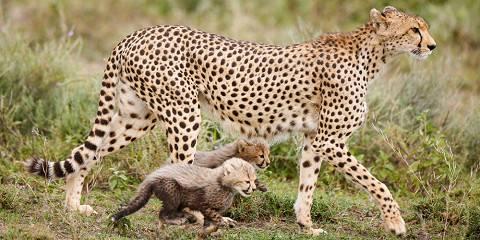 Migration Safari on the Short Grass Plains 'Ndutu'