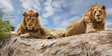 4-Day Home of Lion(Ruaha National Park)