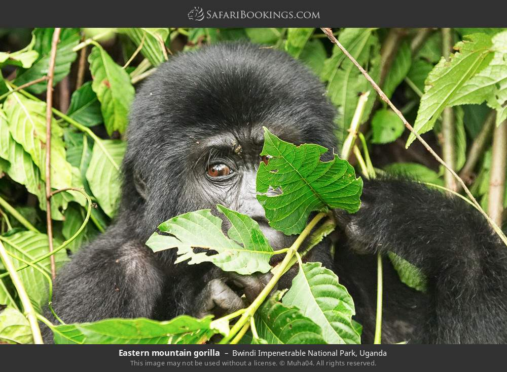 Eastern mountain gorilla in Bwindi Impenetrable National Park, Uganda