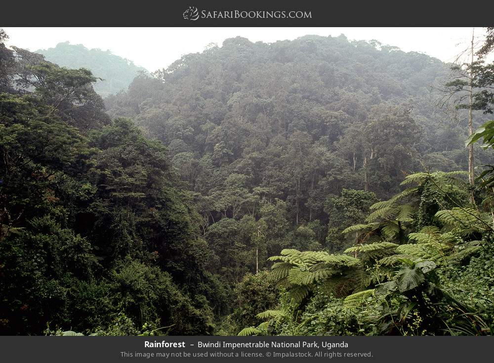 Rainforest in Bwindi Impenetrable National Park, Uganda