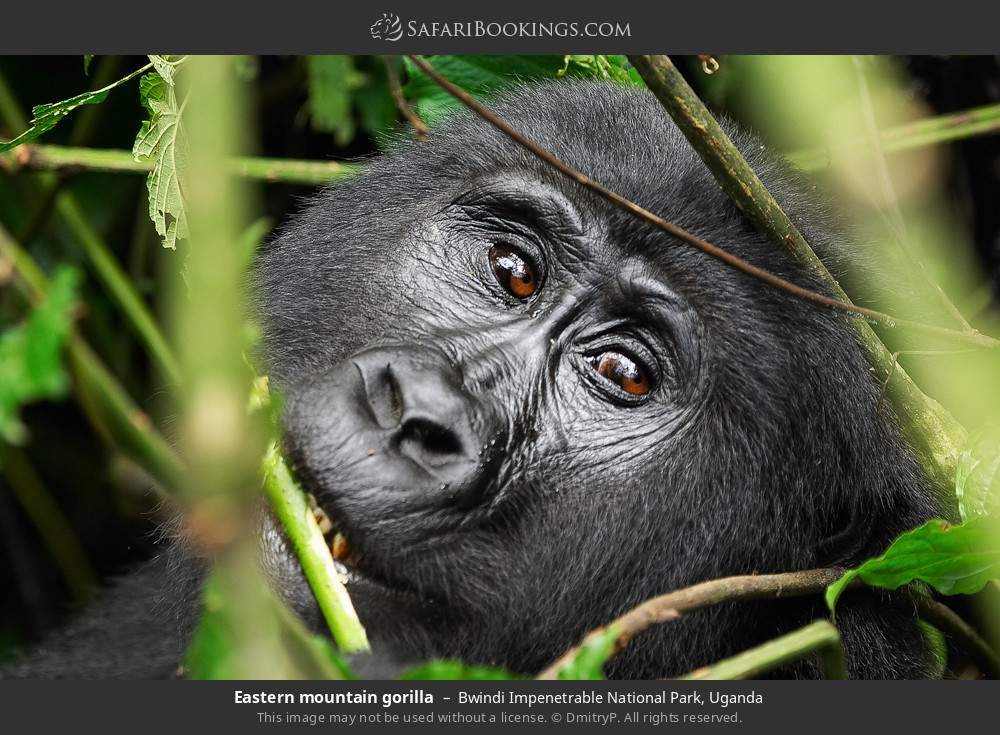 Eastern mountain gorilla in Bwindi Impenetrable National Park, Uganda
