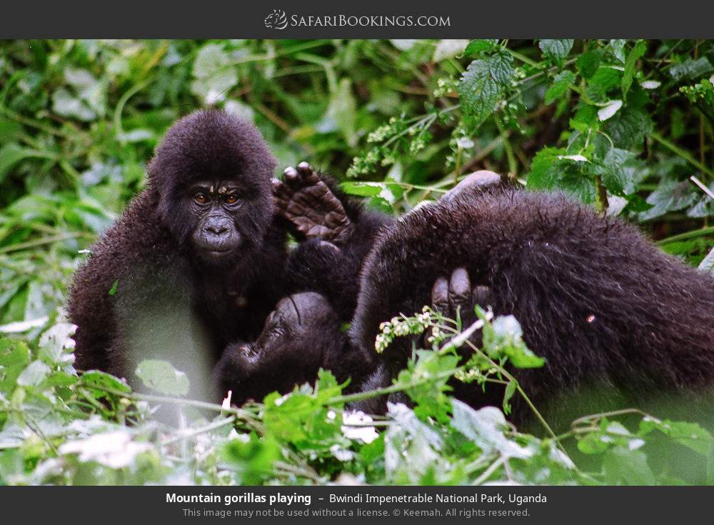 Mountain gorillas playing in Bwindi Impenetrable National Park, Uganda