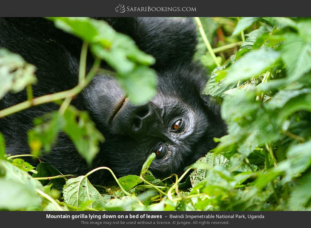 Mountain gorilla lying down on a bed of leaves in Bwindi Impenetrable National Park, Uganda