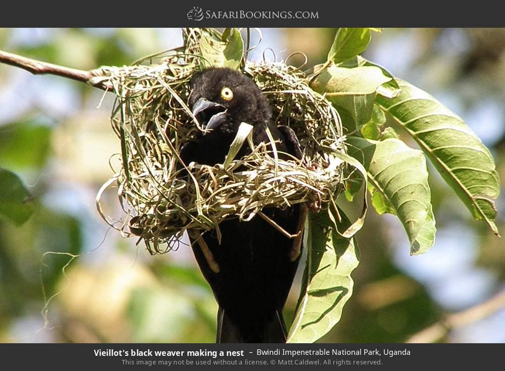 Vieillot's black weaver making a nest in Bwindi Impenetrable National Park, Uganda