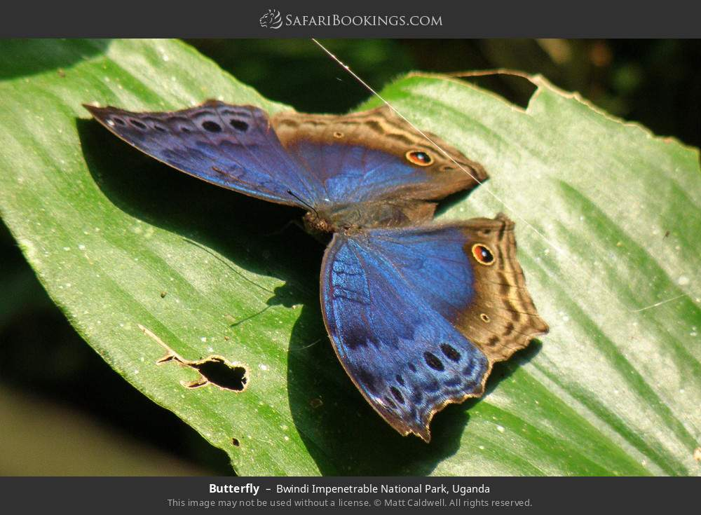 Butterfly in Bwindi Impenetrable National Park, Uganda