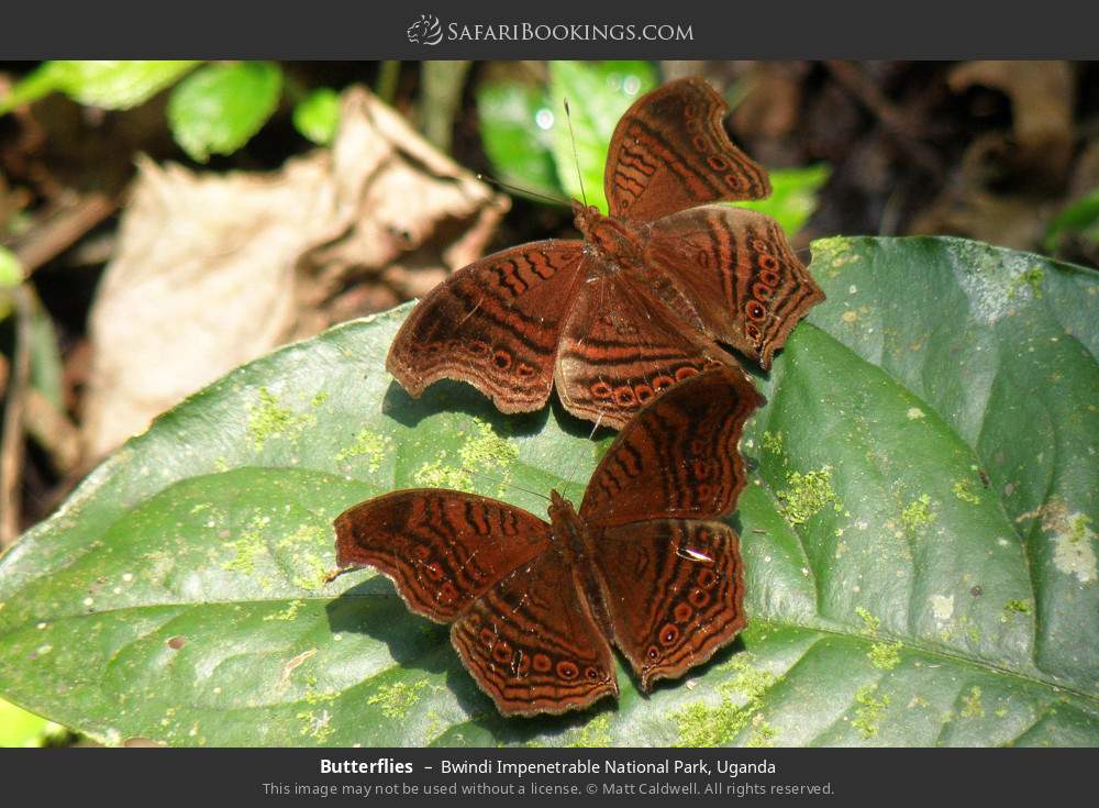 Butterflies in Bwindi Impenetrable National Park, Uganda