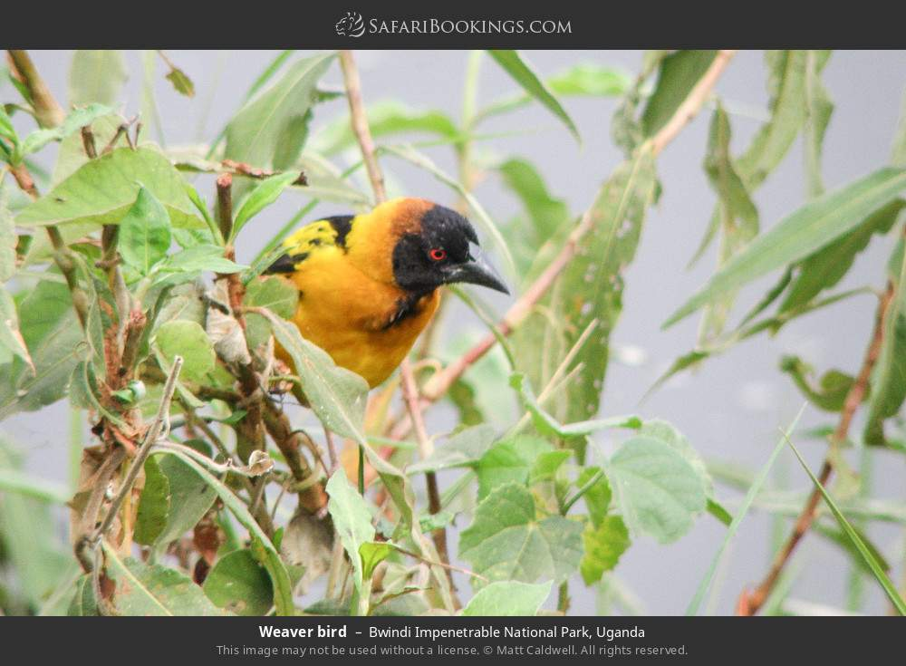 Weaver bird in Bwindi Impenetrable National Park, Uganda
