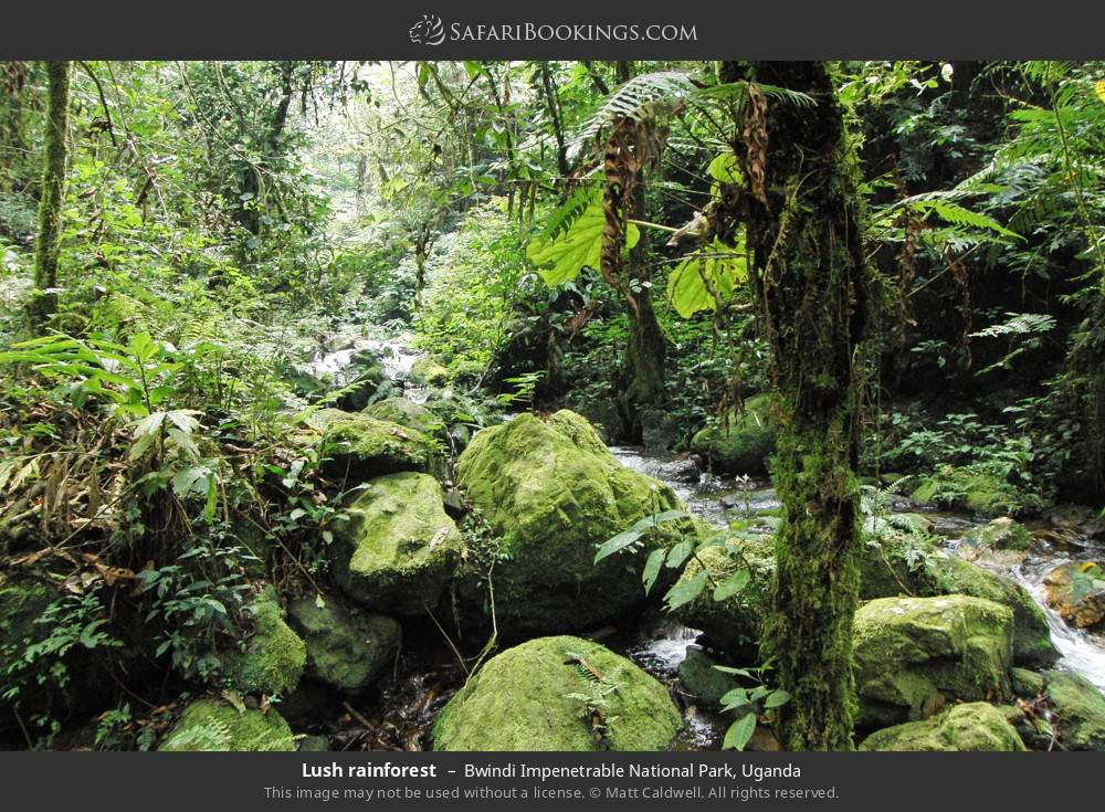 Lush rainforest in Bwindi Impenetrable National Park, Uganda