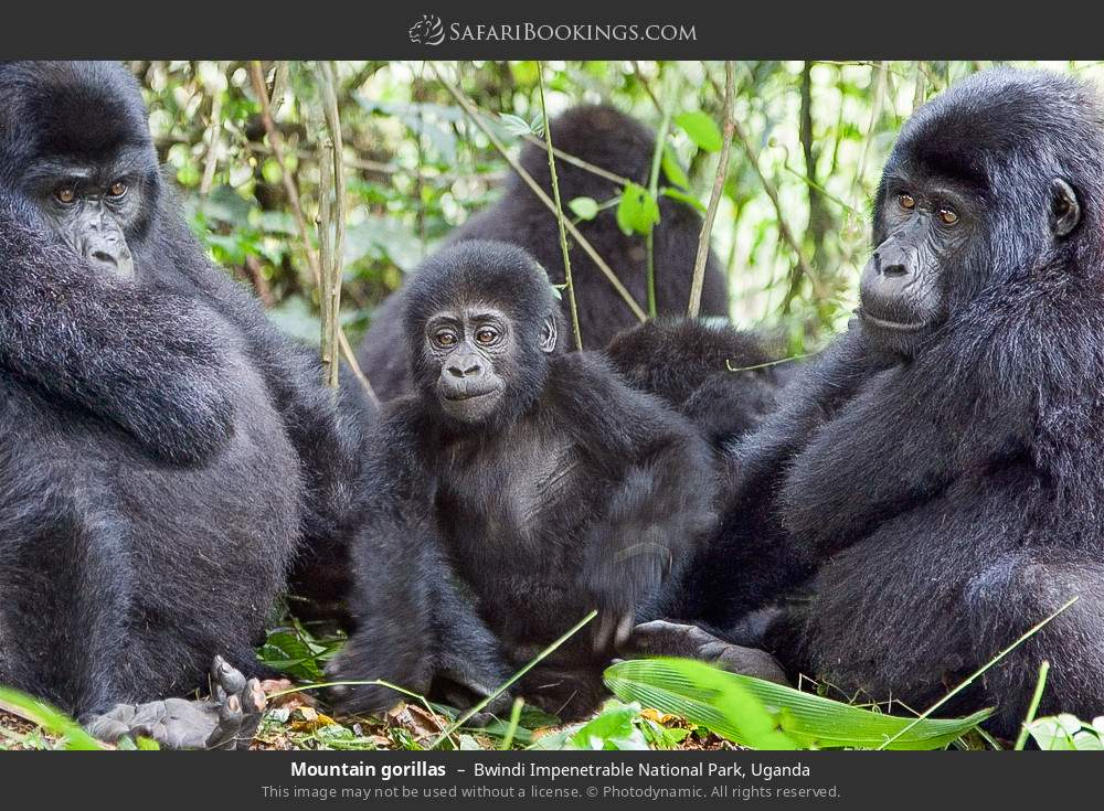 Mountain gorillas in Bwindi Impenetrable National Park, Uganda
