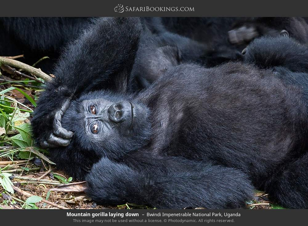 Mountain gorilla laying down in Bwindi Impenetrable National Park, Uganda