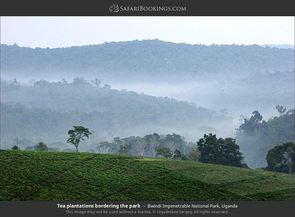 Tea plantations bordering the park in Bwindi Impenetrable National Park, Uganda