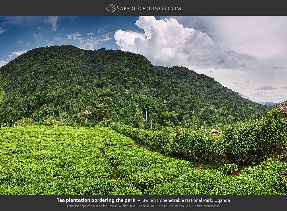 Tea plantation bordering the park in Bwindi Impenetrable National Park, Uganda