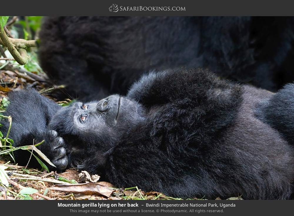 Mountain gorilla lying on her back in Bwindi Impenetrable National Park, Uganda