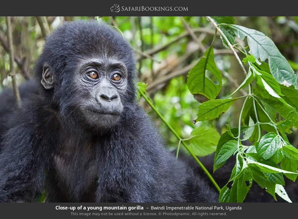 Close-up of a young mountain gorilla in Bwindi Impenetrable National Park, Uganda