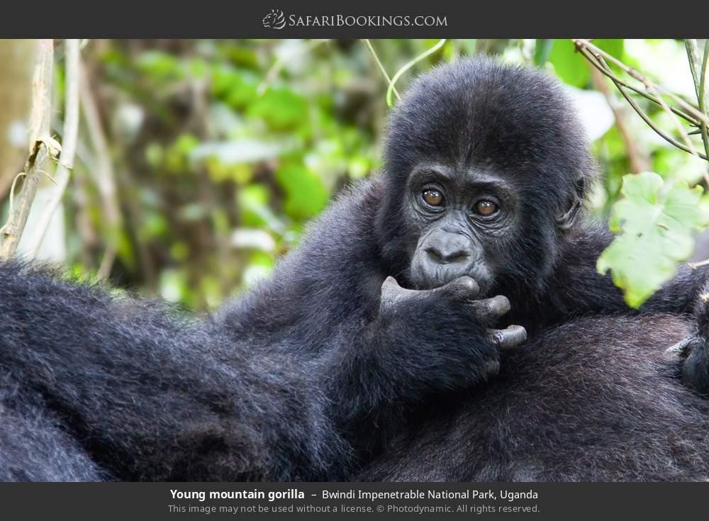 Young mountain gorilla in Bwindi Impenetrable National Park, Uganda