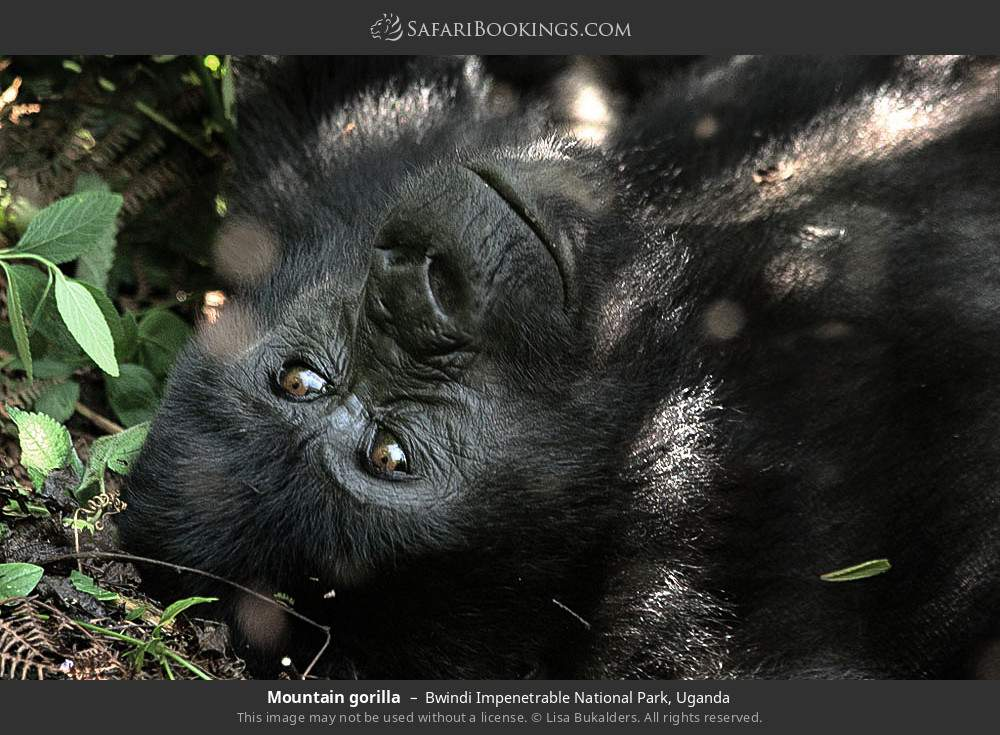 Mountain gorilla in Bwindi Impenetrable National Park, Uganda