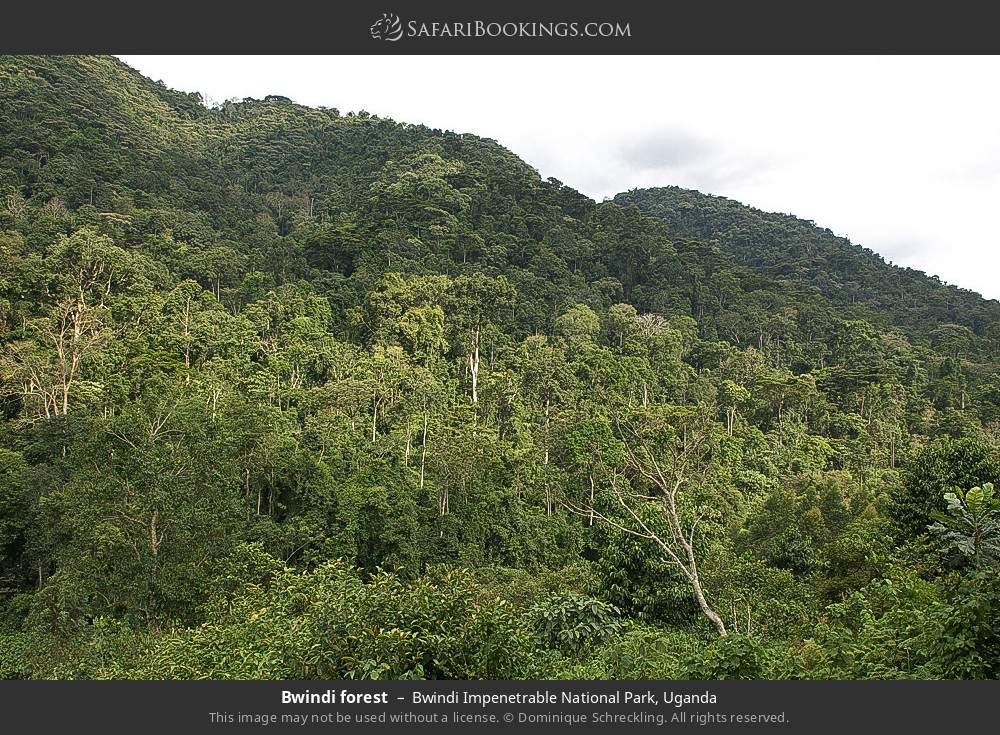 Bwindi forest in Bwindi Impenetrable National Park, Uganda