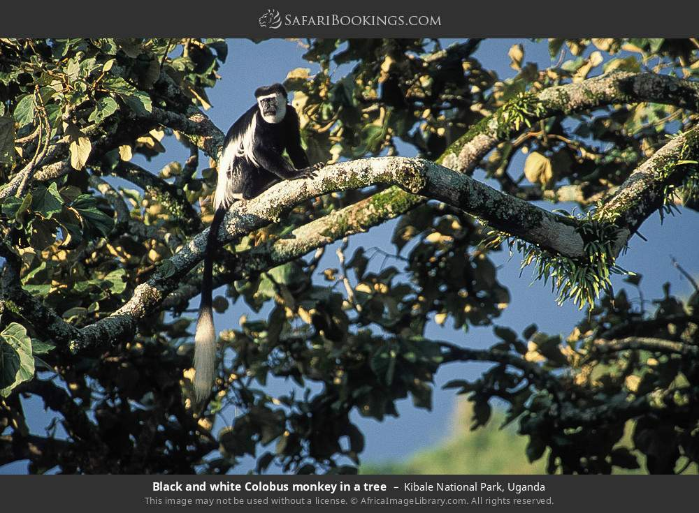 Black and white Colobus monkey in a tree in Kibale National Park, Uganda