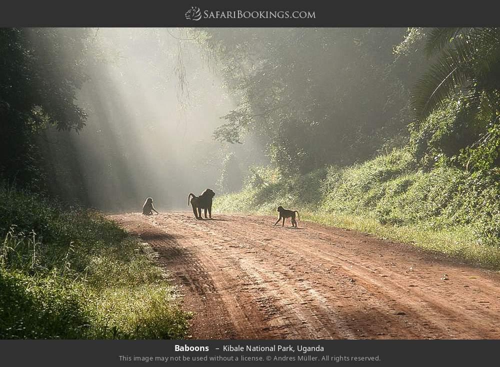 Baboons  in Kibale National Park, Uganda
