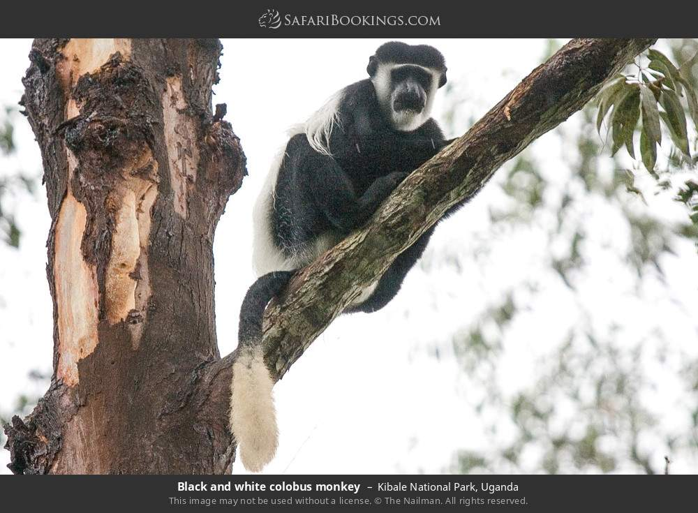 Black and white colobus monkey in Kibale National Park, Uganda