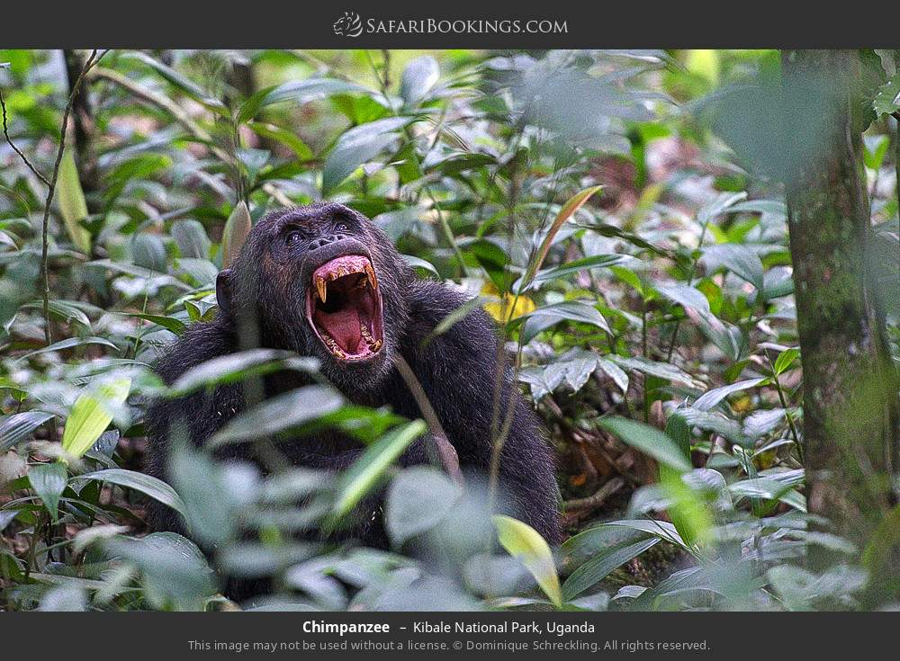 Chimpanzee in Kibale National Park, Uganda
