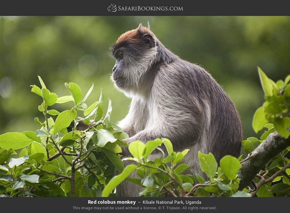 Red colobus monkey in Kibale National Park, Uganda