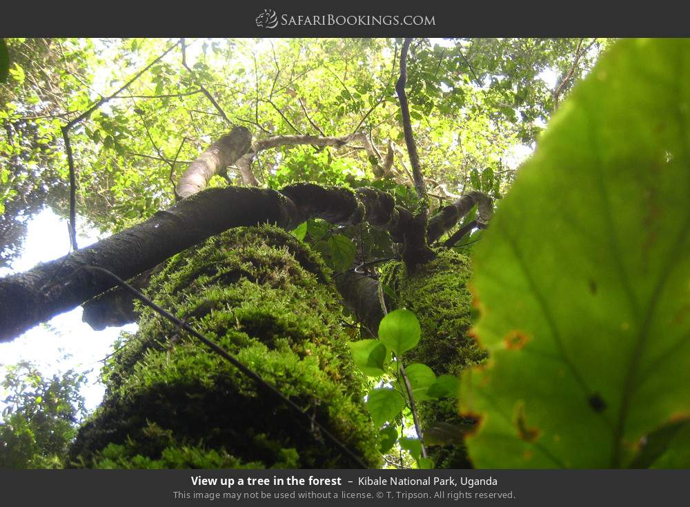 View up a tree in the forest in Kibale National Park, Uganda