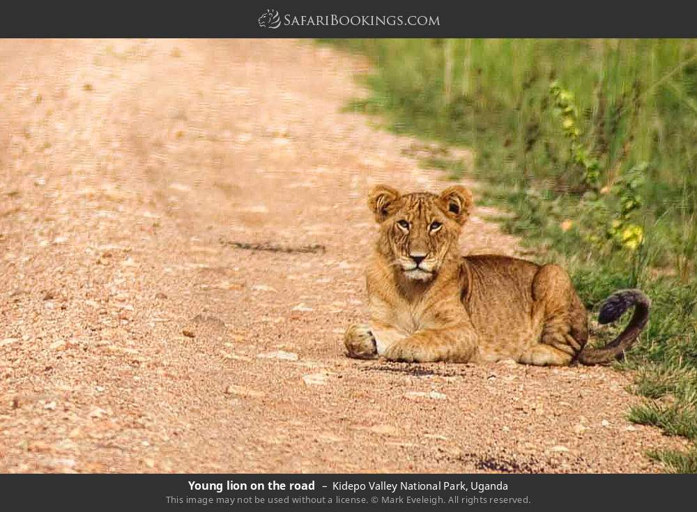 Young lion on the road in Kidepo Valley National Park, Uganda