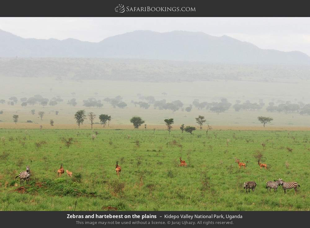 Zebras and hartebeest on the plains in Kidepo Valley National Park, Uganda