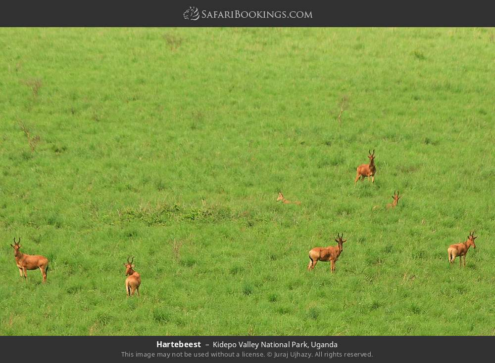 Hartebeest in Kidepo Valley National Park, Uganda