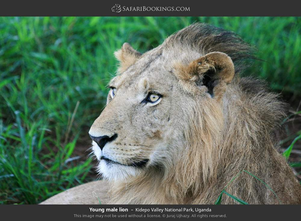 Young male lion in Kidepo Valley National Park, Uganda