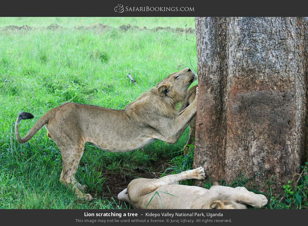 Lion scratching a tree in Kidepo Valley National Park, Uganda