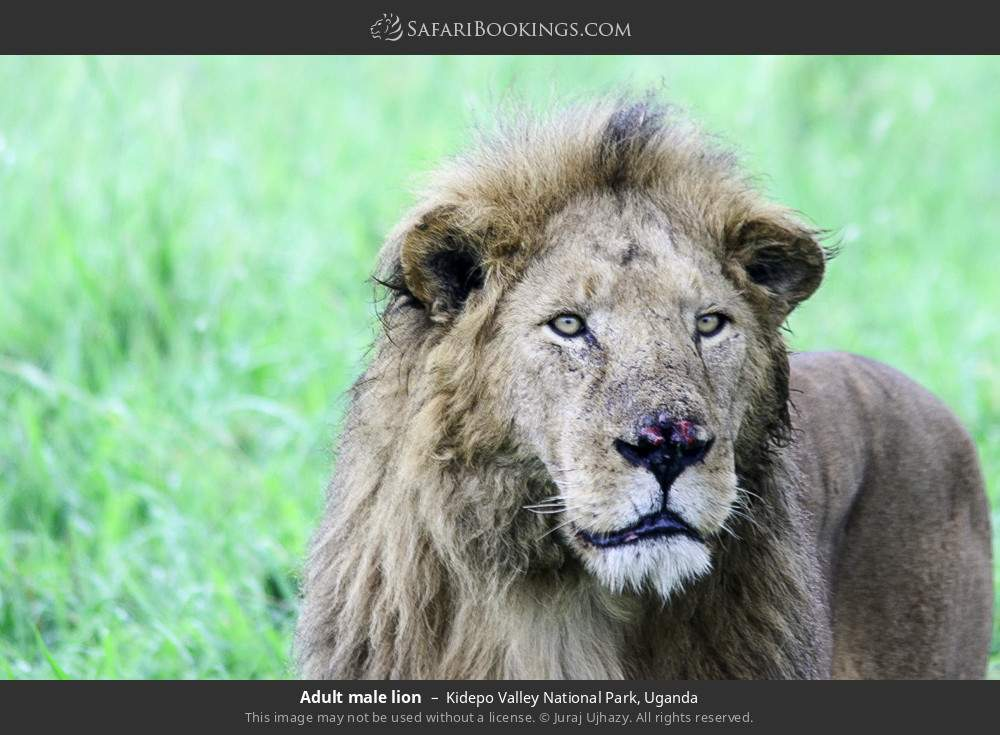 Adult male lion in Kidepo Valley National Park, Uganda